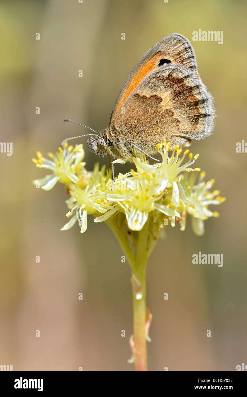 Closeup Small heath butterfly (Coenonympha pamphilus) on yellow flower viewed from profil - Stock Image