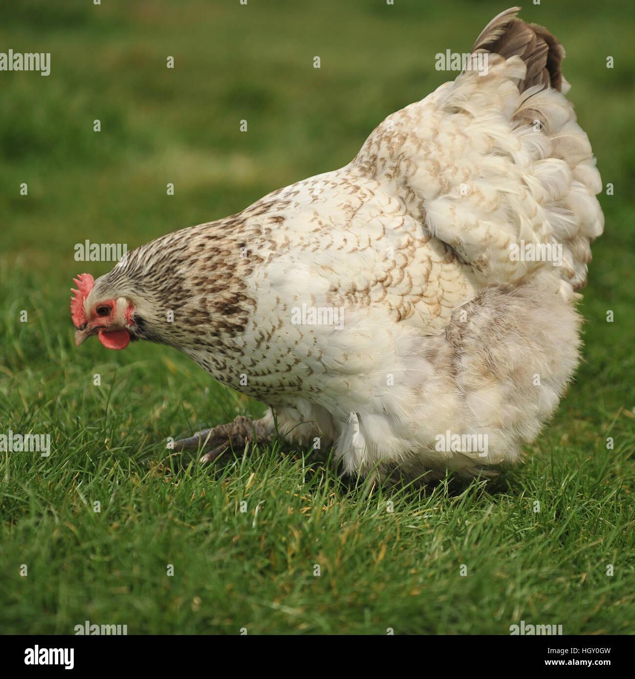 silver orpington hen - Stock Image