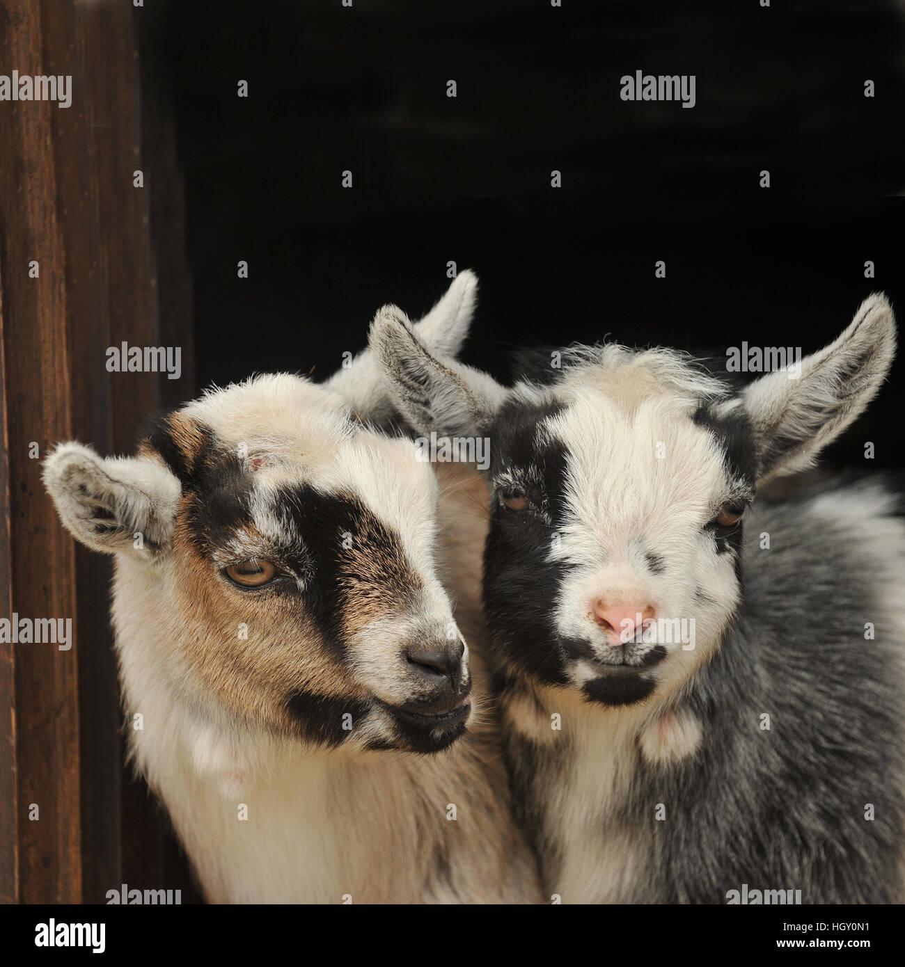 pygmy goat kids - Stock Image