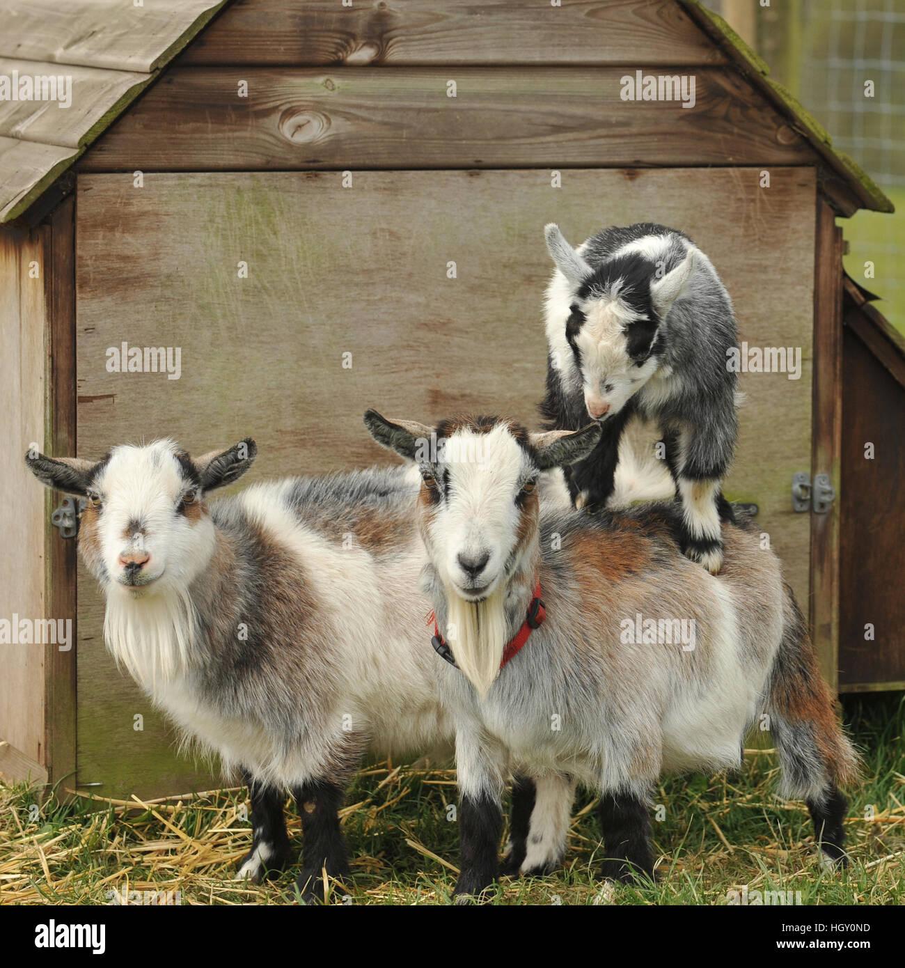 pygmy goats - Stock Image