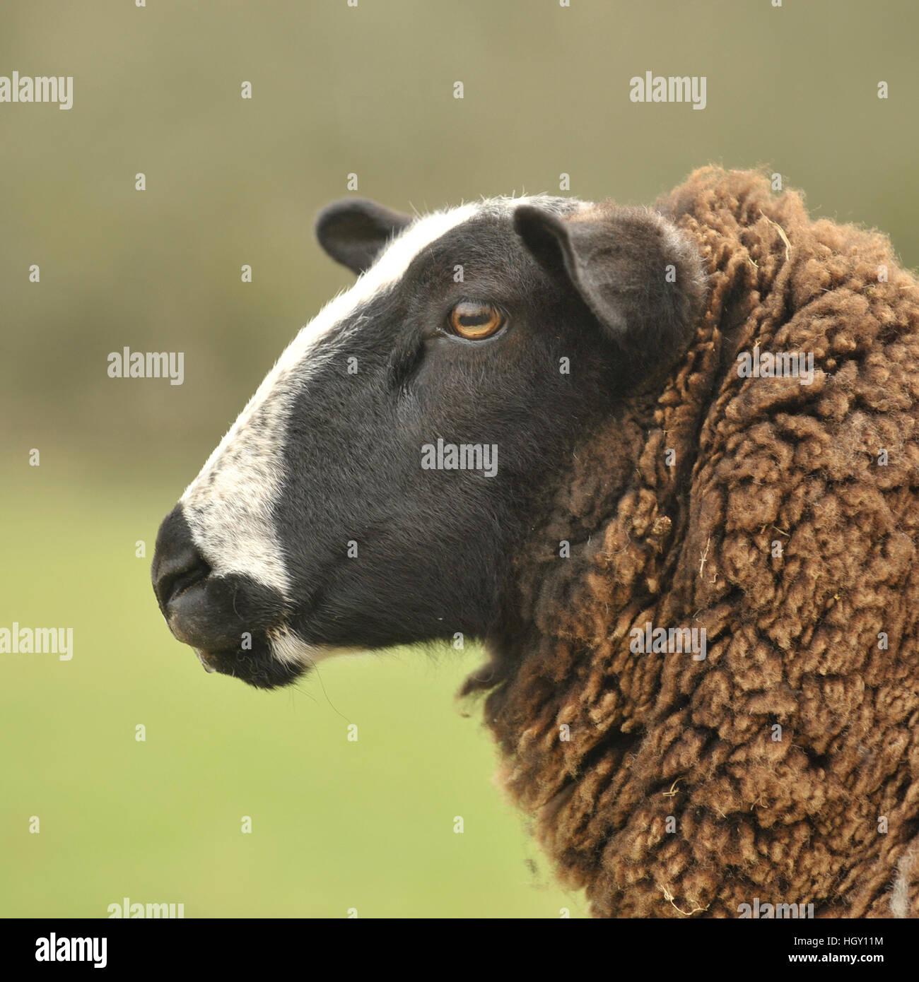 zwartbles sheep ewe - Stock Image