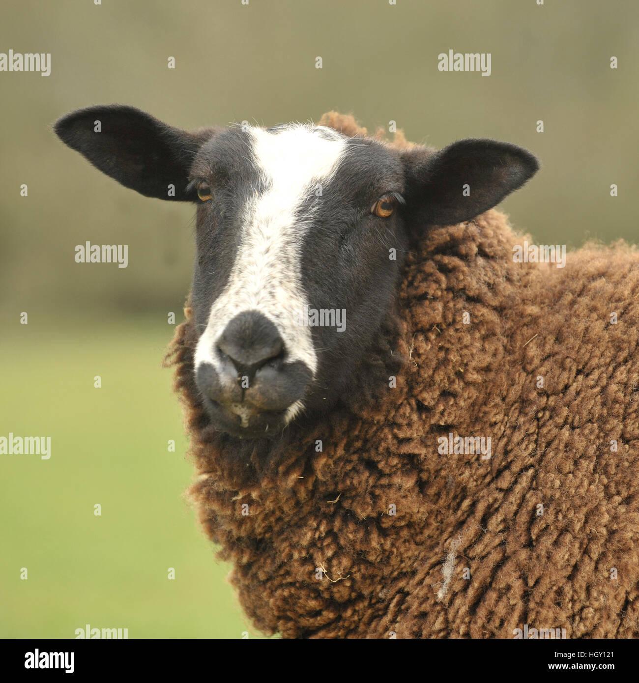 zwartbles ewe - Stock Image