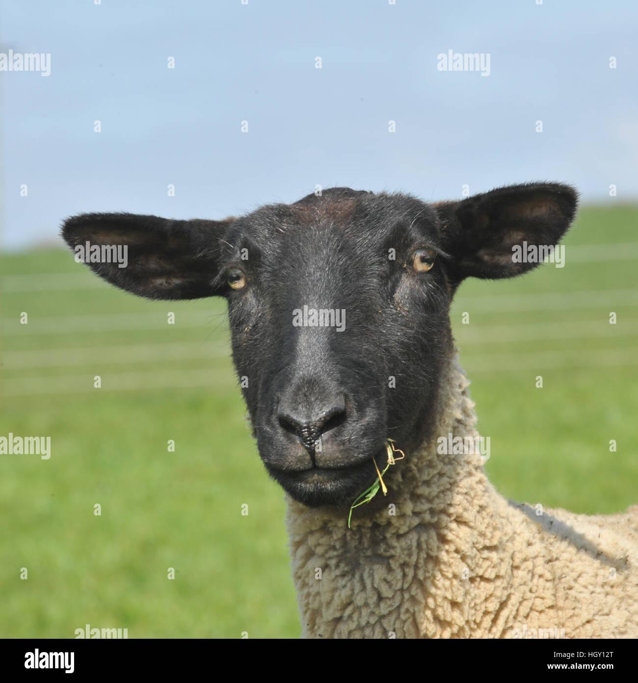suffok x Finn ewe - Stock Image