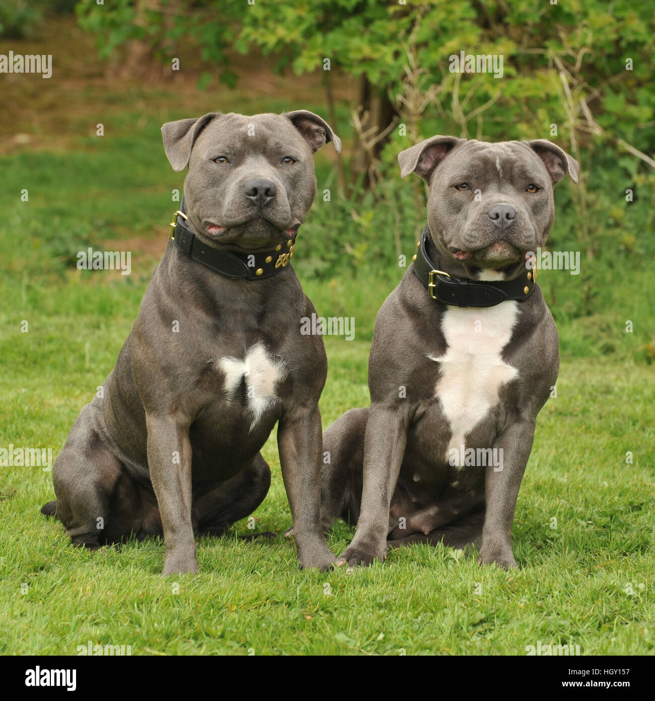 staff bull terriers - Stock Image