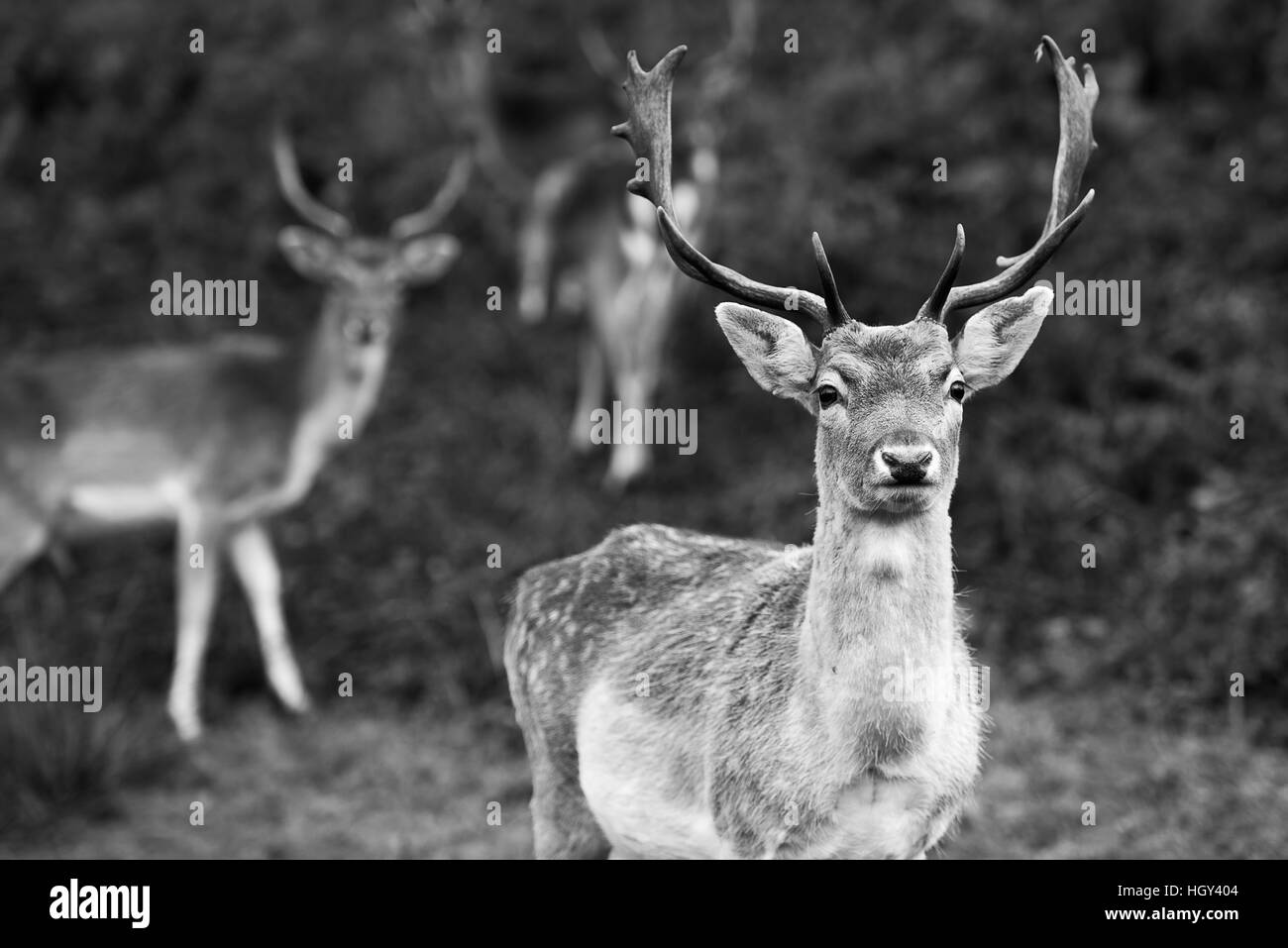 Deer antlers black and white stock photos deer antlers black and