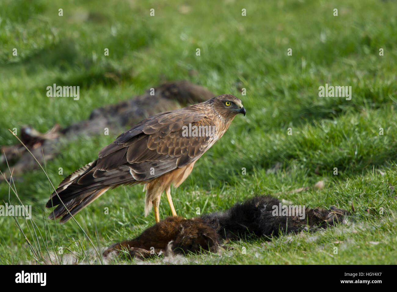 Swamp Harrier - feeding on dead possum Circus approximans Bruny Island Tasmania, Australia BI031257 Stock Photo