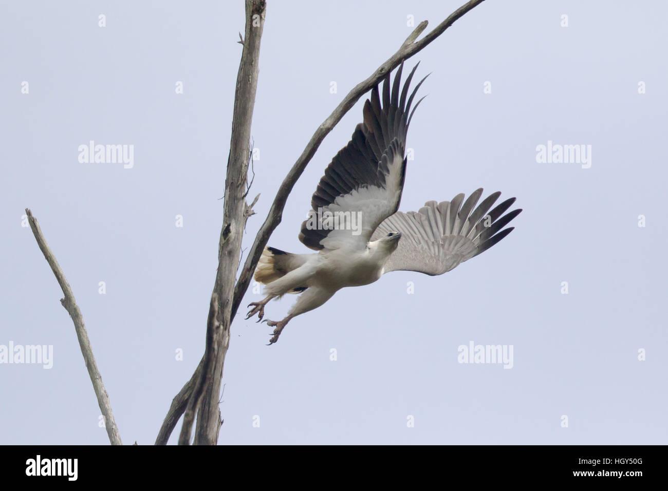 White-bellied Sea-eagle Haliaeetus-leucogaster Tasmania Australia BI031275 Stock Photo