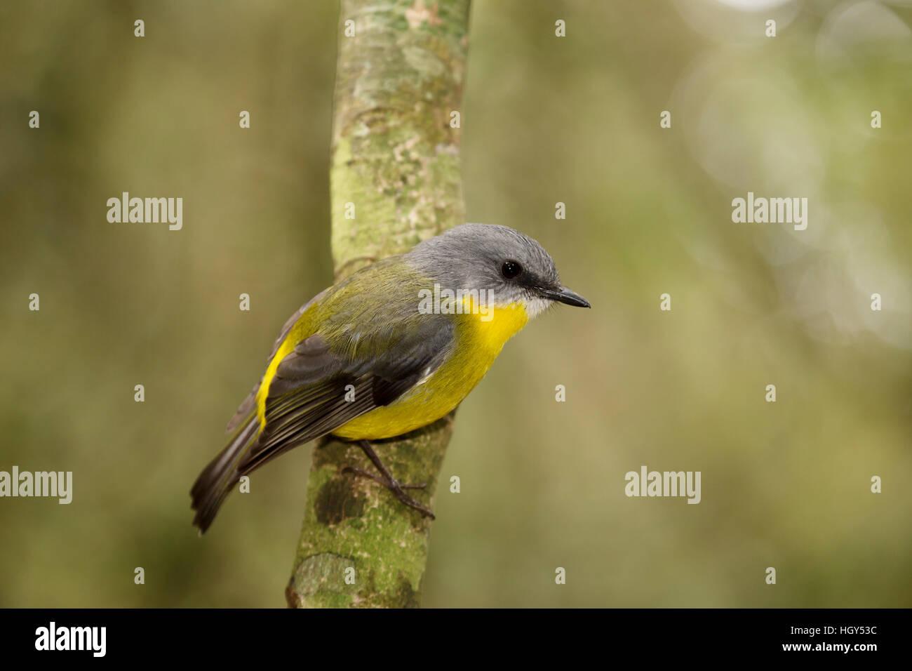 Eastern Yellow Robin Eopsaltria australis Lamington National Park Queensland, Australia BI031291 Stock Photo