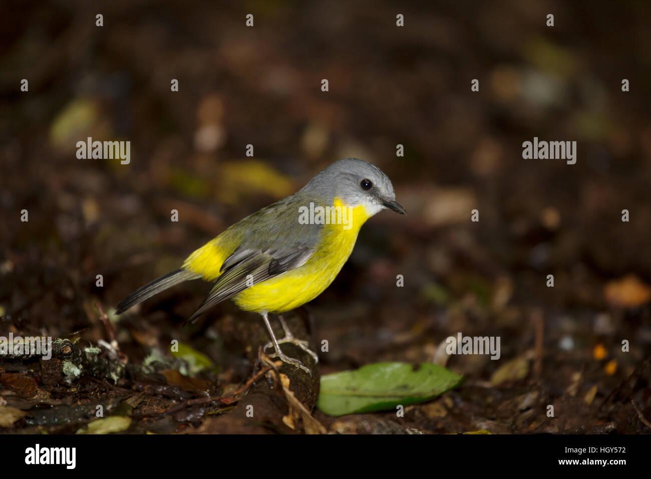 Eastern Yellow Robin Eopsaltria australis Lamington National Park Queensland, Australia BI031305 Stock Photo