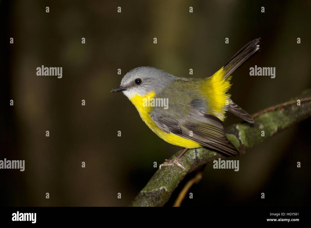 Eastern Yellow Robin Eopsaltria australis Lamington National Park Queensland, Australia BI031309 Stock Photo