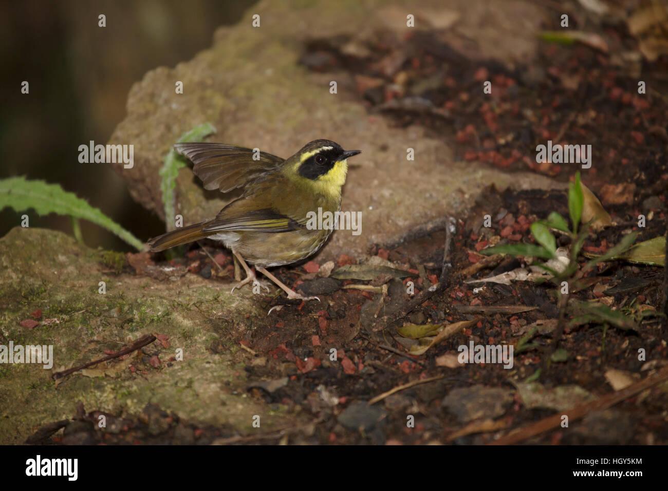 Yellow-throated Scrubwren Sericornis citreogularis Lamington National Park Queensland, Australia BI031378 Stock Photo
