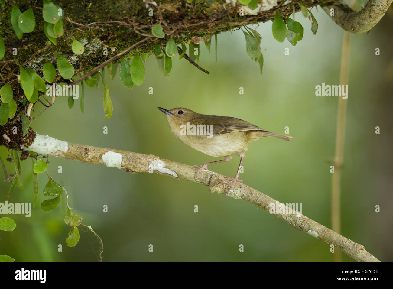 Large-billed Gerygone Gerygone magnirostris Atherton Tablelands Queensland, Australia BI031474 - Stock Image