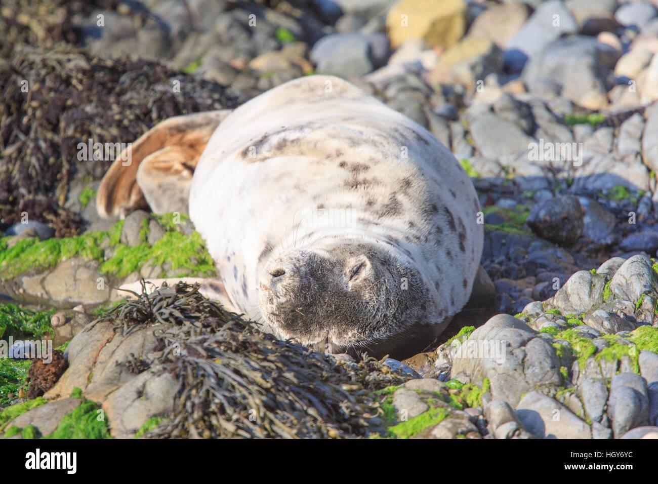 Young grey seal (Halichoerus grypus) lazing on a rocky beach, Pembrokeshire, Wales, UK Stock Photo