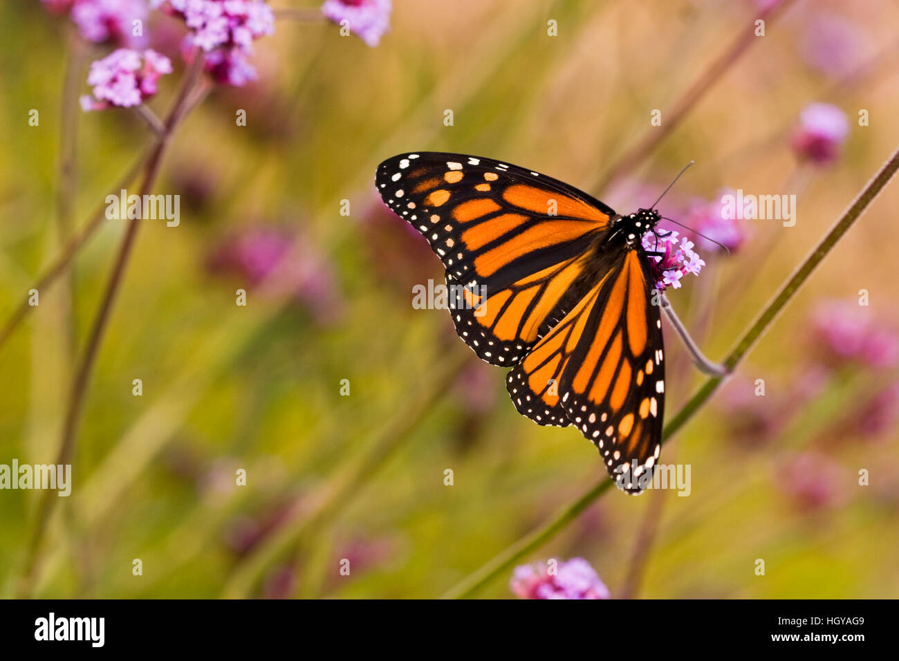 A monarch butterfly in Meredith, New Hampshire. - Stock Image