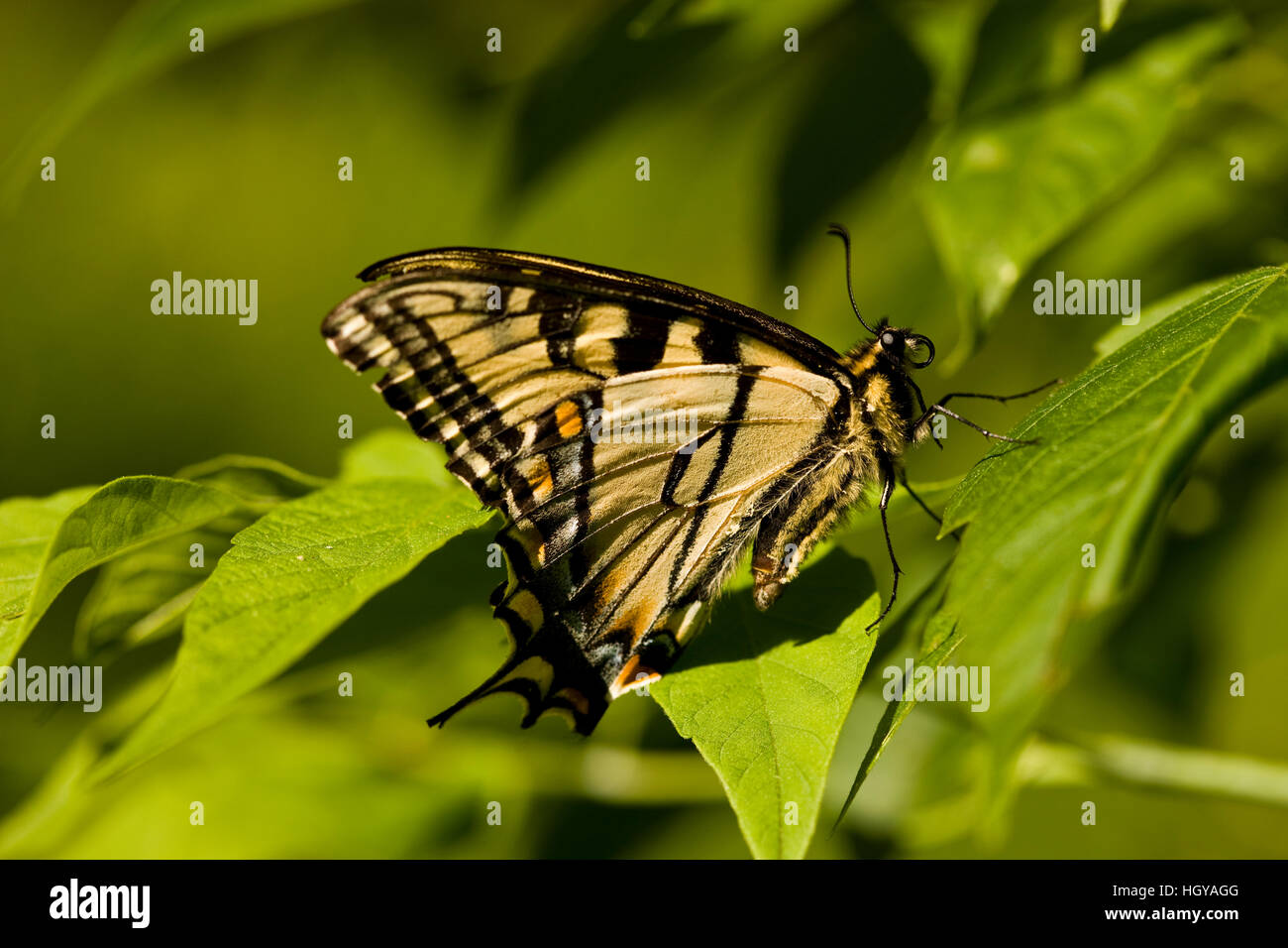 An eastern tiger swallowtail butterfly, Papilio glaucus, in Sabins Pasture, Montpelier, Vermont. - Stock Image