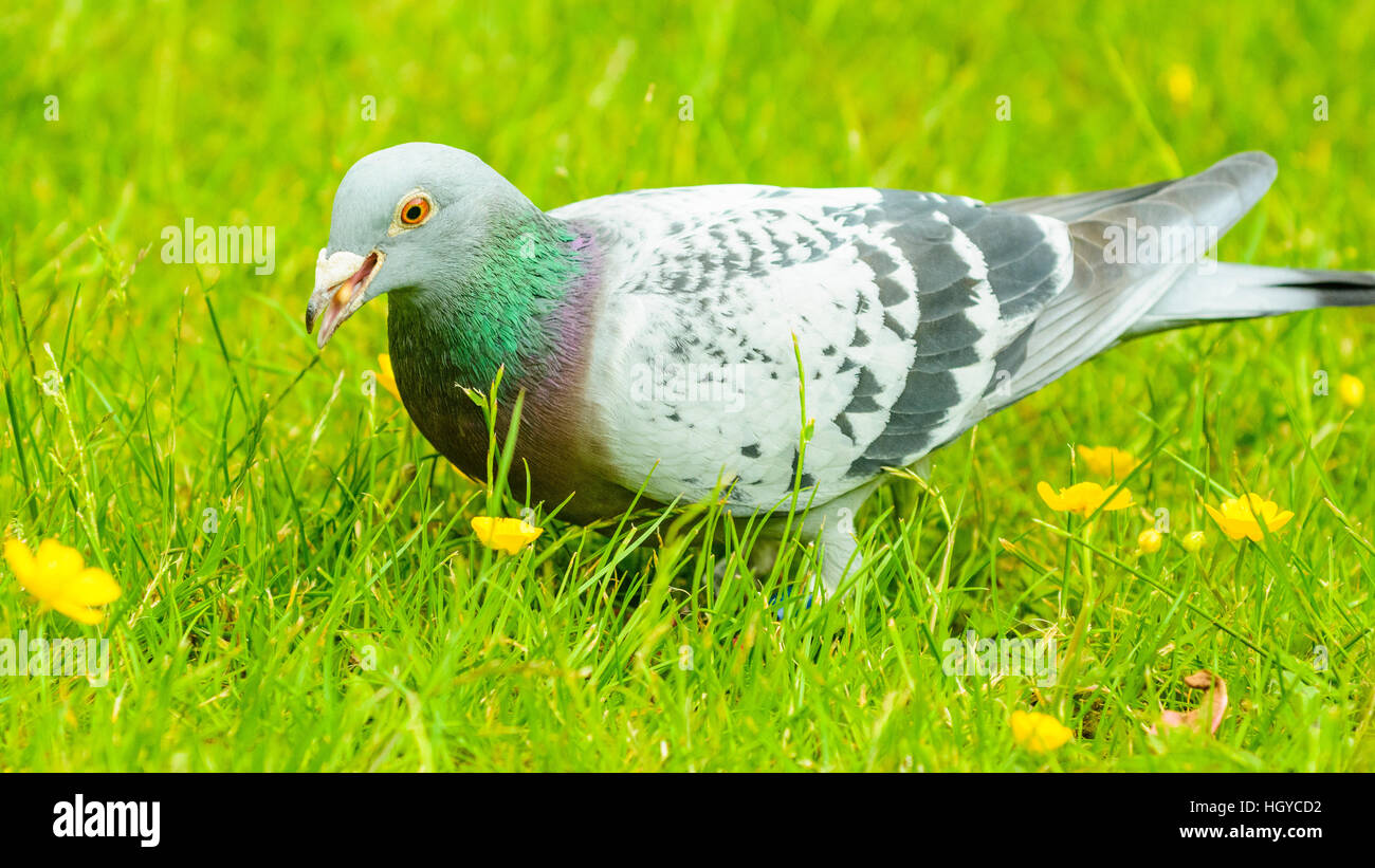 Racing pigeon resting on lawn - Stock Image