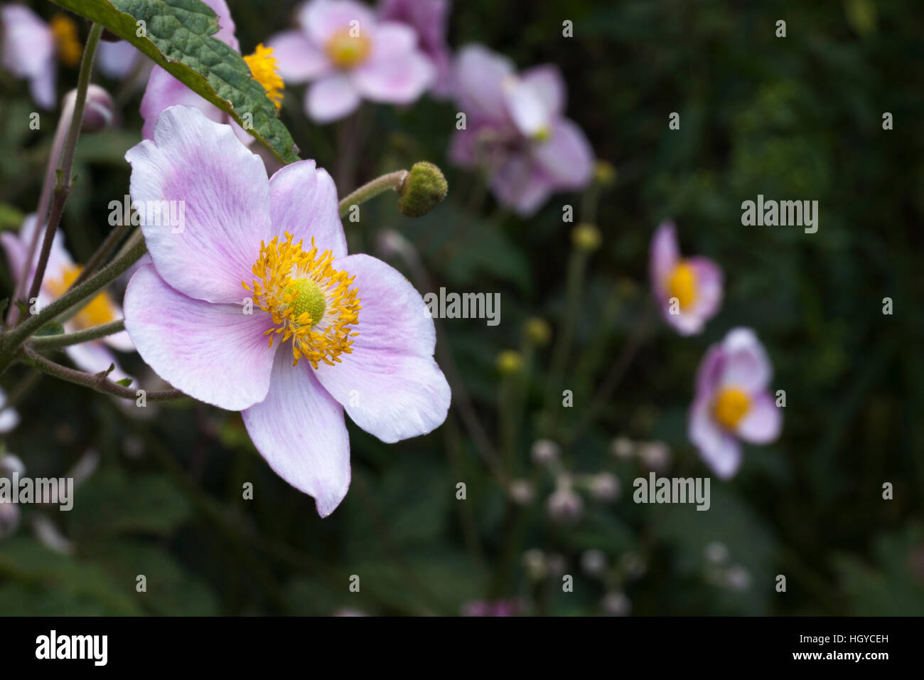Detail shot of a Japanese anemone (Anemone hupehensis) within the walled garden of Rousham House in Oxfordshire, - Stock Image