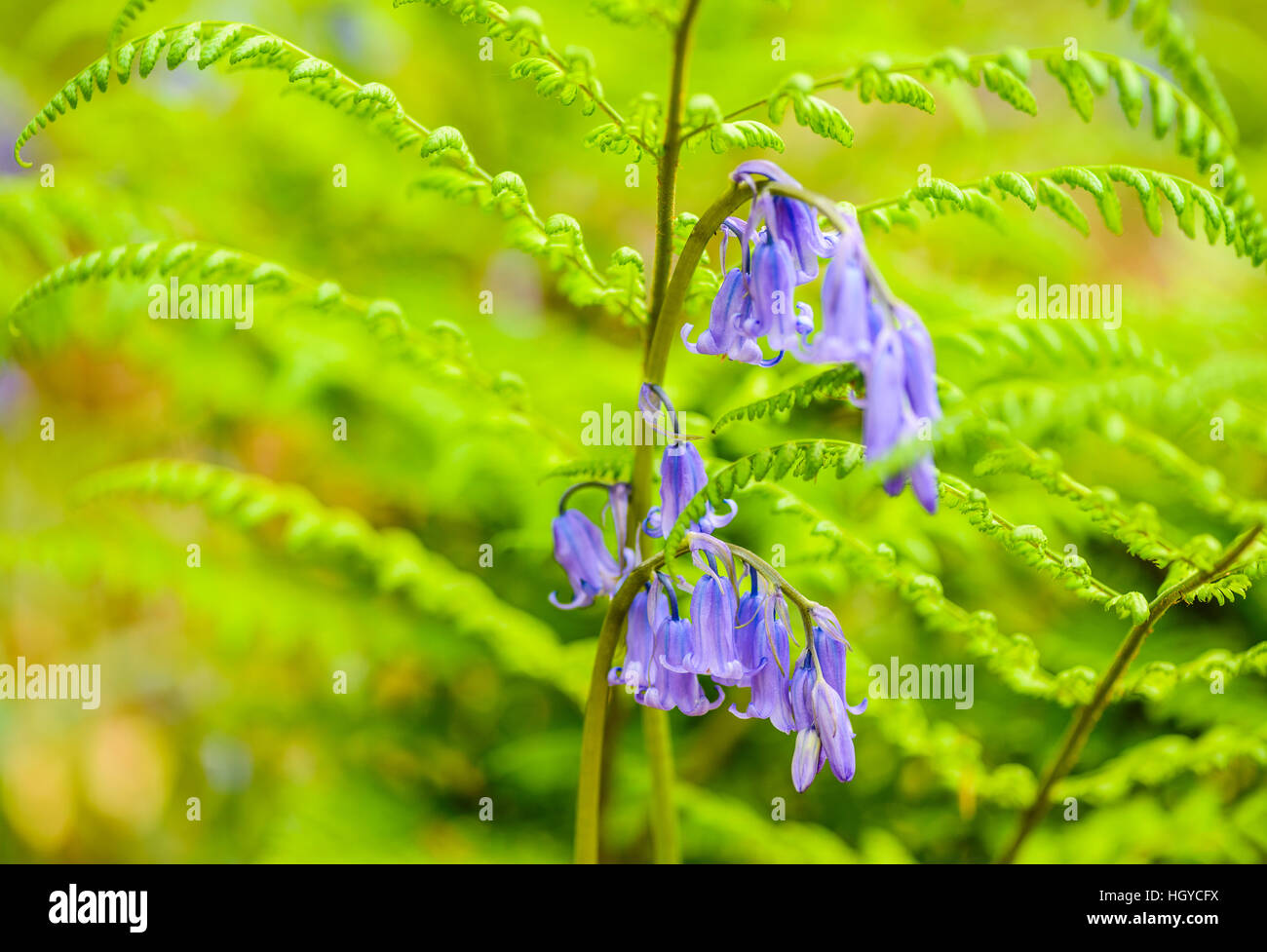 Bluebells Hyacinthoides non-scripta and bracken in woods near Scorton Lancashire UK - Stock Image
