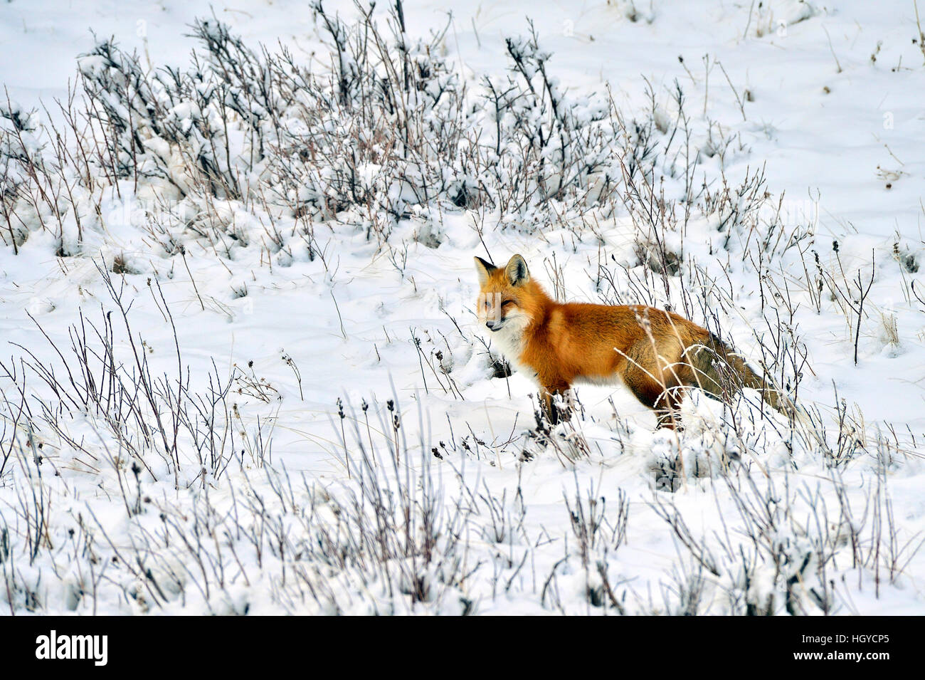 A red fox 'Vulpes vulpes';  out hunting in the winter snow in Alberta Canada - Stock Image