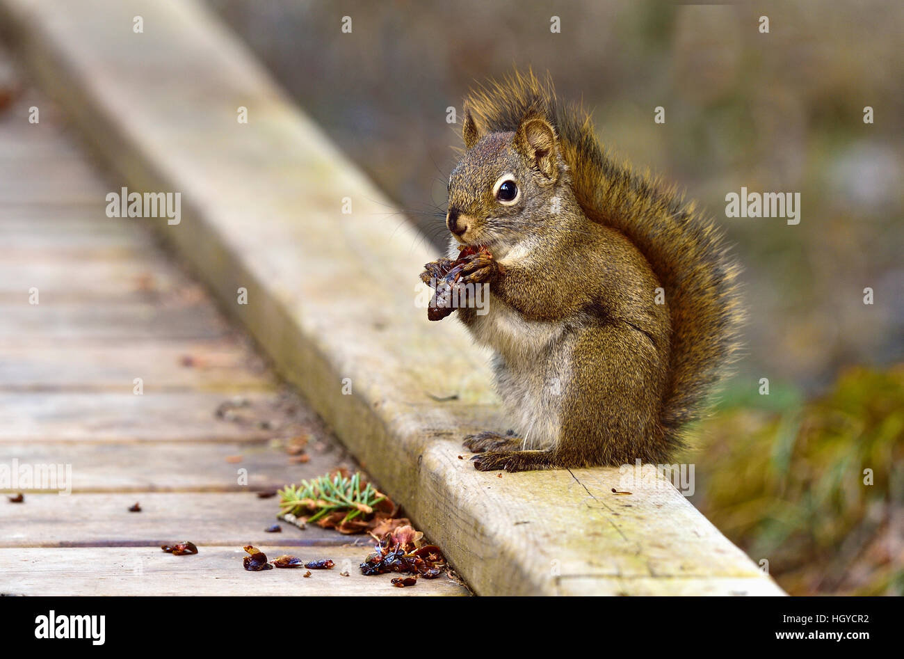 A Red Squirrel  Tamiasciurus hudsonicus; sitting on the boardwalk holding a spruce cone between his paws. - Stock Image