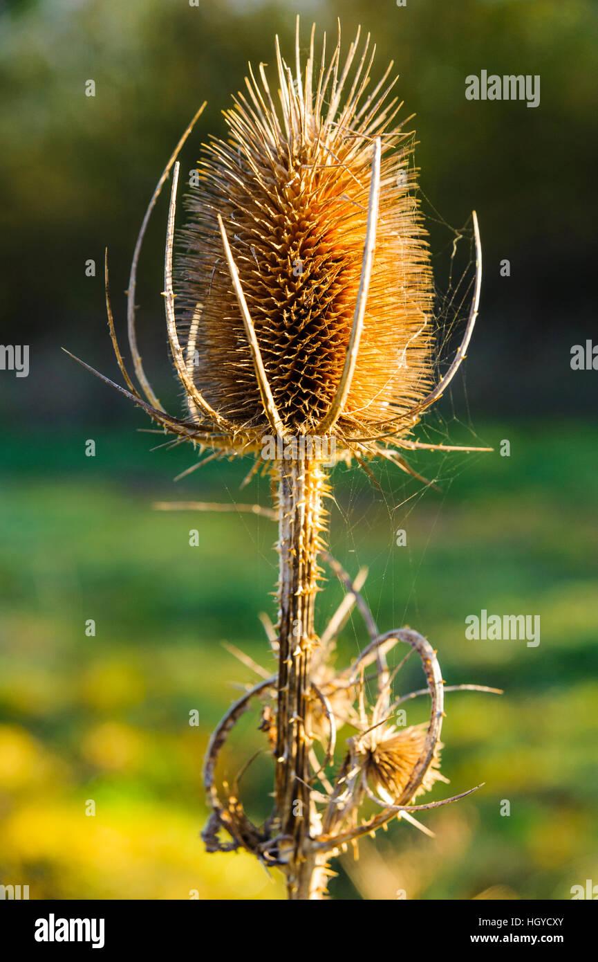 Teasel seed head Lancashire UK - Stock Image