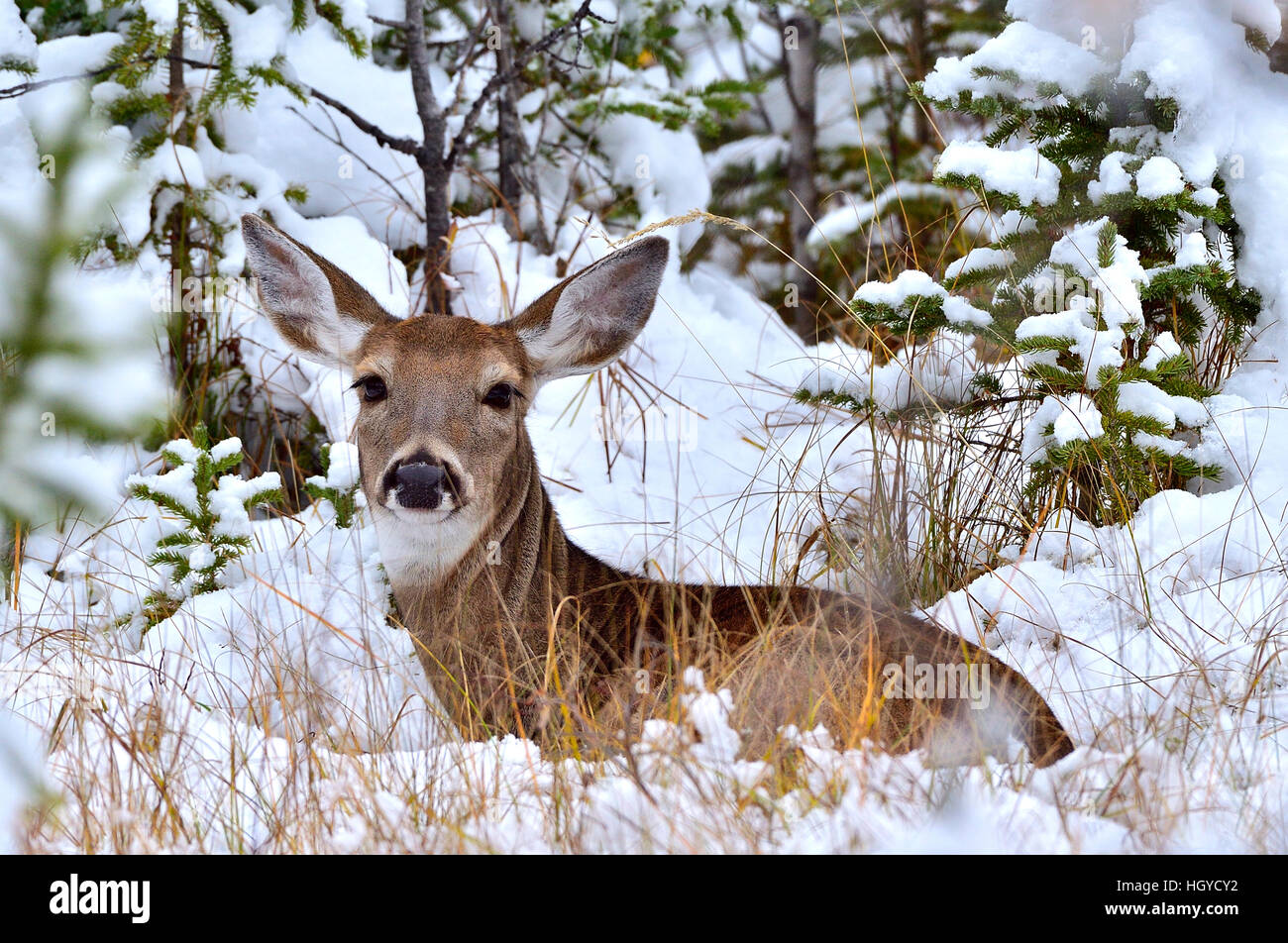 A  White-tailed doe deer{Odocoileus virginianus}  lying in the fresh snow - Stock Image