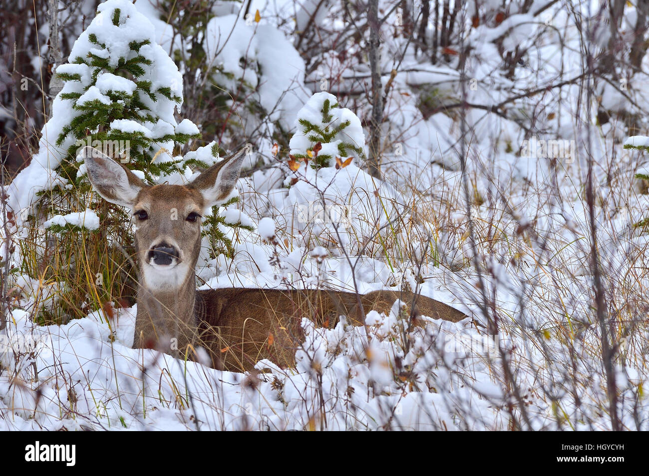 A  White-tailed doe deer {Odocoileus virginianus}  lying in the fresh snow - Stock Image