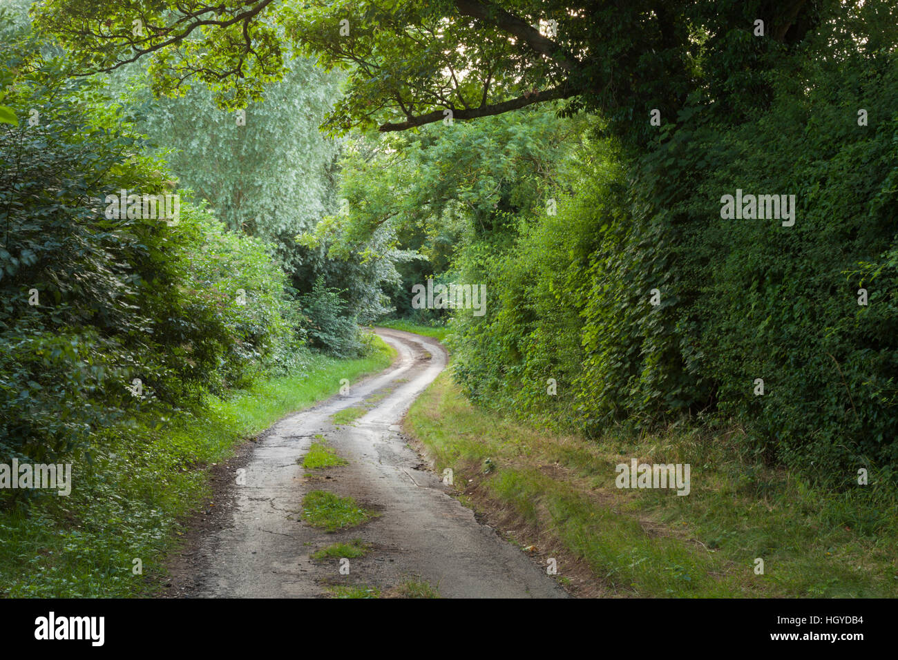 A narrow and winding country lane framed by a sycamore tree and high hedges on a summer evening in Northamptonshire, - Stock Image
