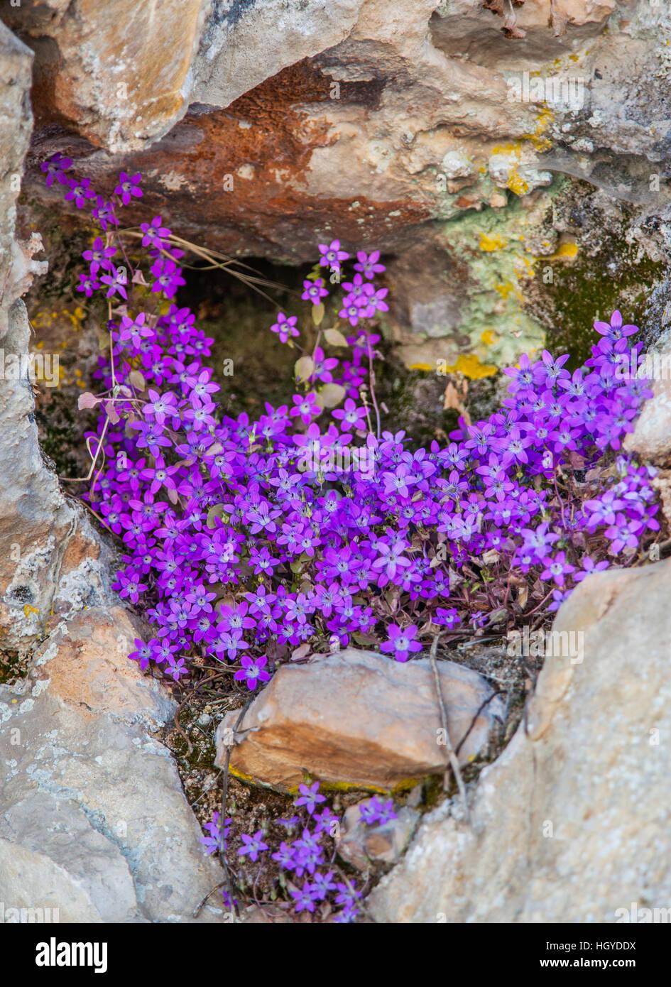 Spain, Andalusia, Province of Cadiz,  Parque Natural Sierra de Grazalema, campanula speculariodes purple wildflowers - Stock Image