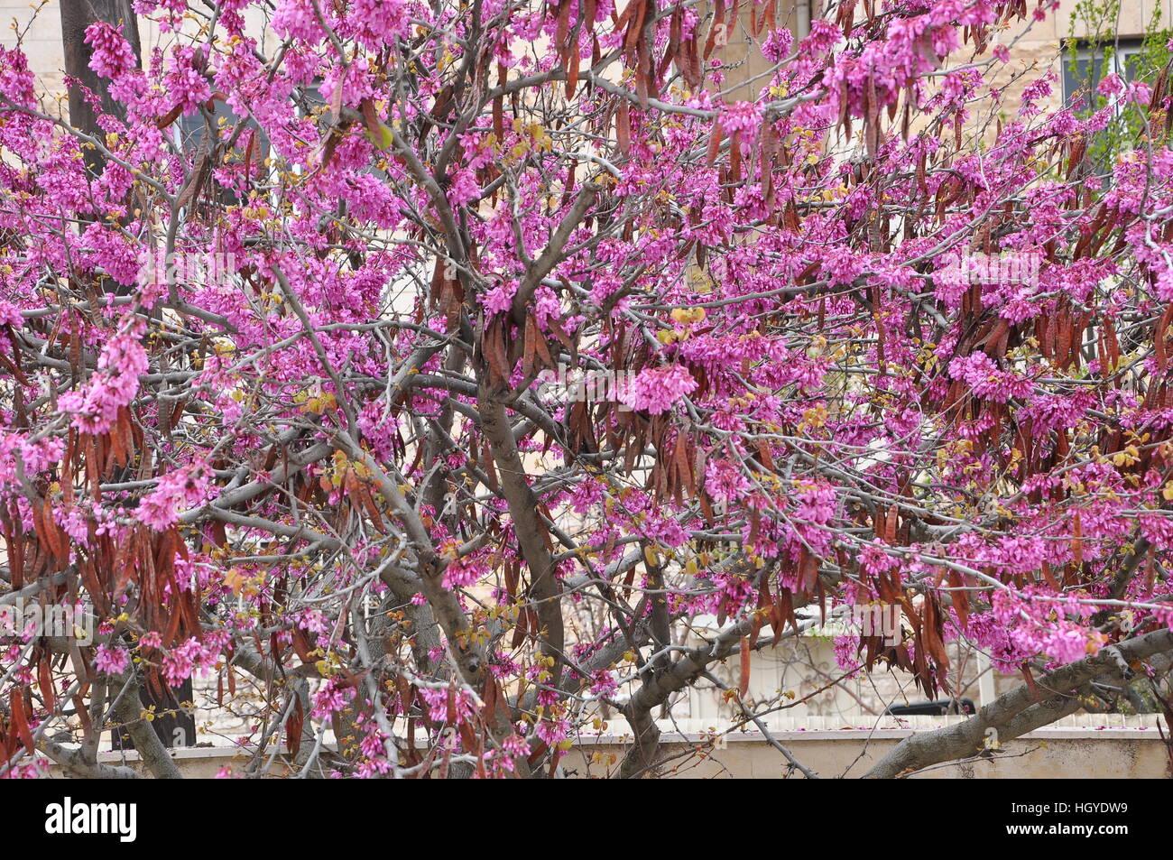 30 JUDAS TREE SEEDS CERCIS SILIQUASTRUM