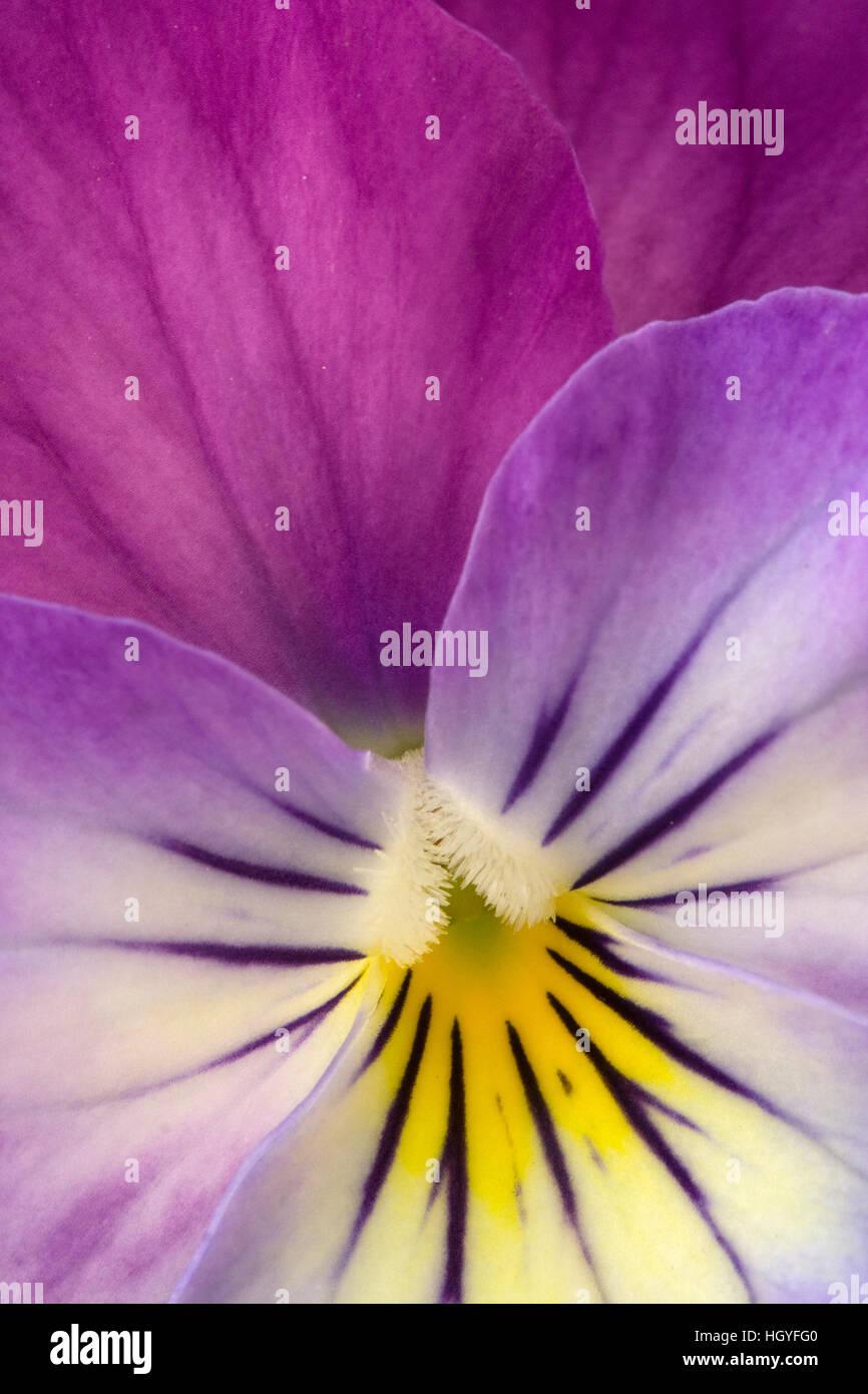 Purple Viola - Stock Image