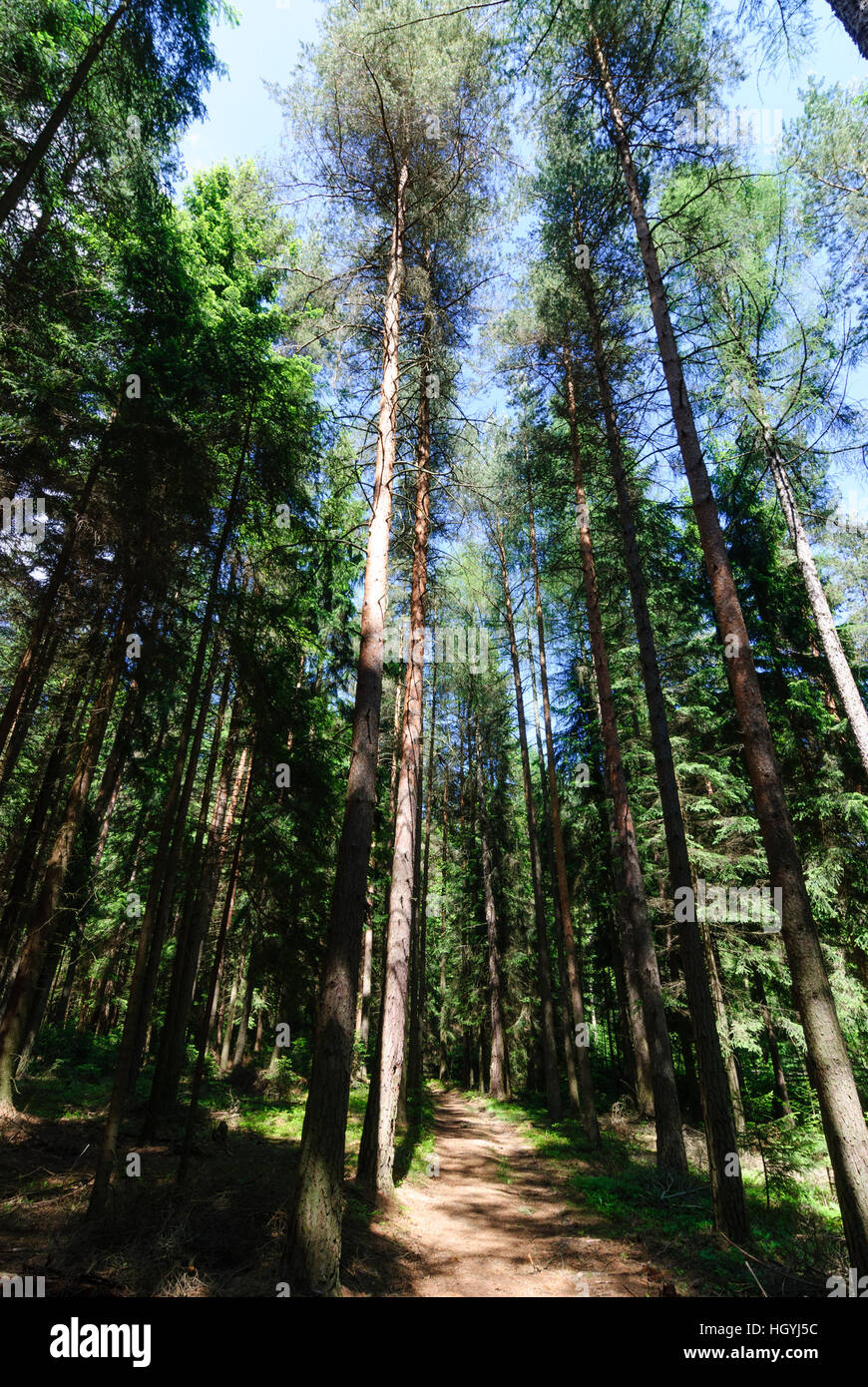 Bad Brambach: Spruces in the Elstergebirge, Vogtland, Sachsen, Saxony, Germany - Stock Image