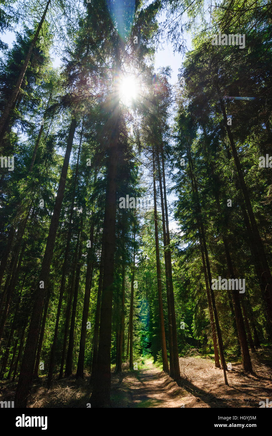 Bad Brambach: Spruces in the Elstergebirge, Vogtland, Sachsen, Saxony, Germany Stock Photo