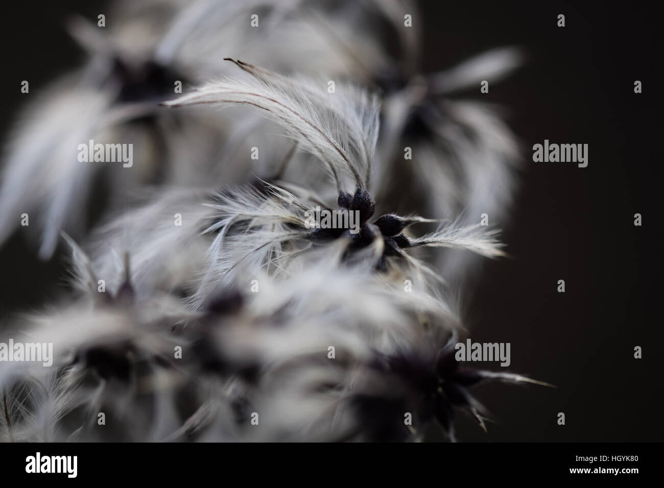 Close up of Clematis vitalba also known as Old Man's Beard in winter - Stock Image