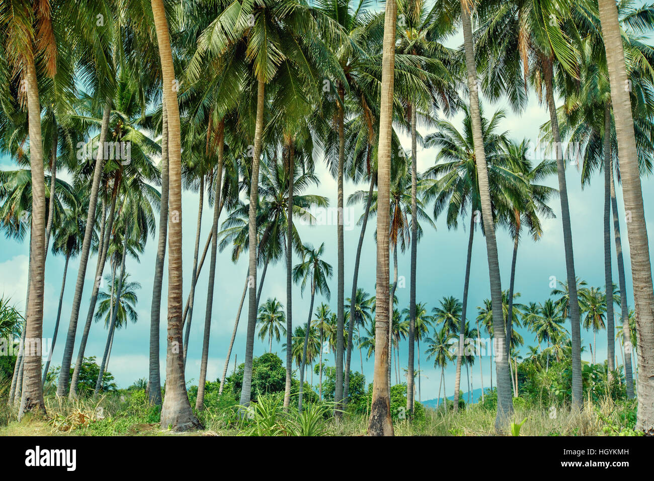Coconut palms on tropical beach in Koh Samui, Thailand - Stock Image