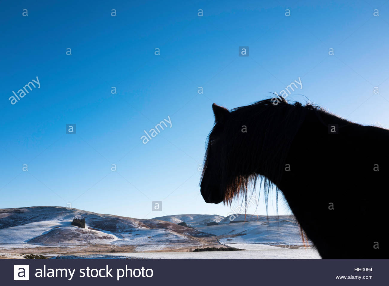 Towford, Hownam, Jedburgh, Scottish Borders, UK. 14th January 2017.  A fell pony looks out onto a wintry landscape - Stock Image
