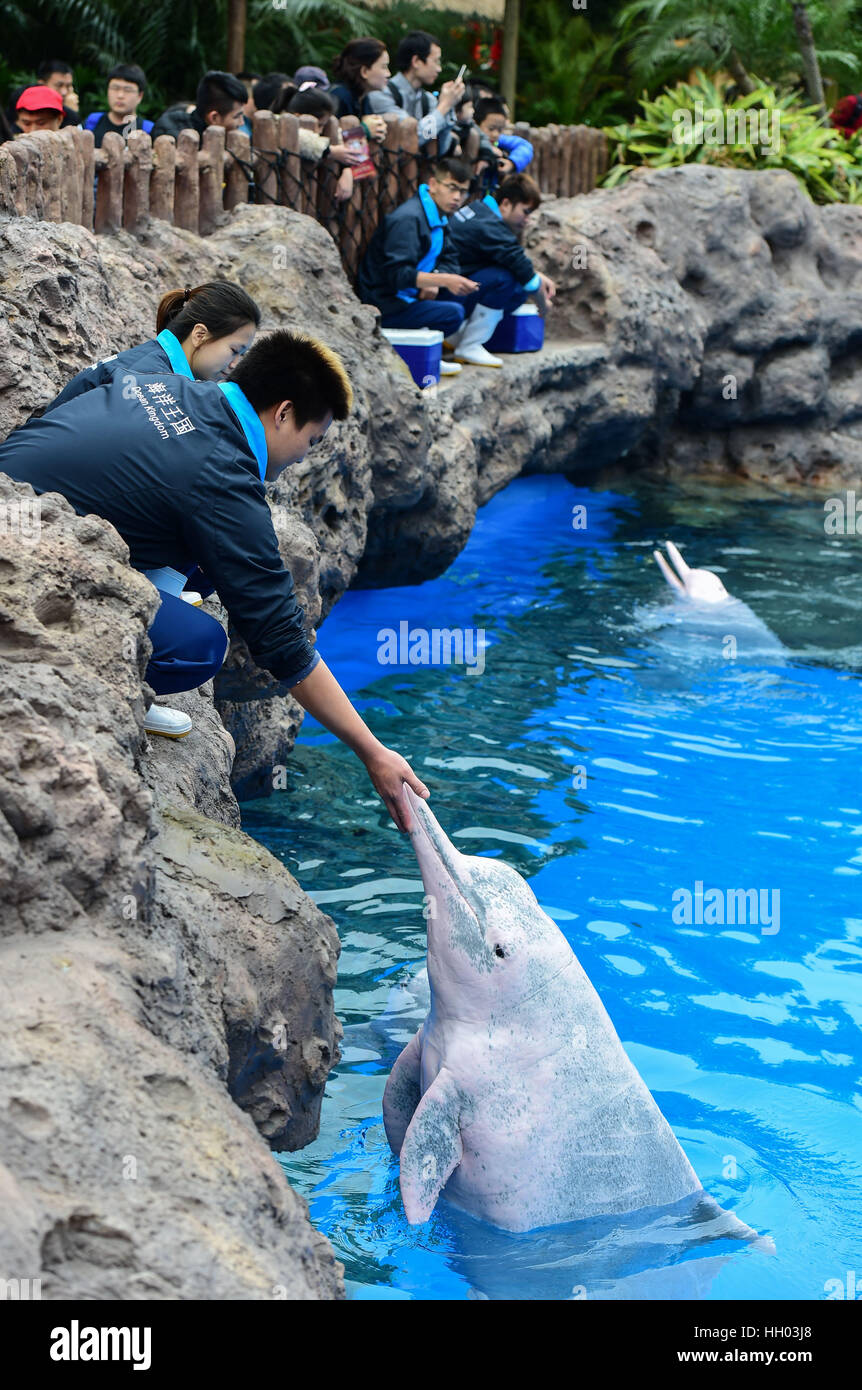Zhuhai, China's Guangdong Province. 15th Jan, 2017. Keepers feed Chinese white dolphins at the Chimelong Ocean - Stock Image