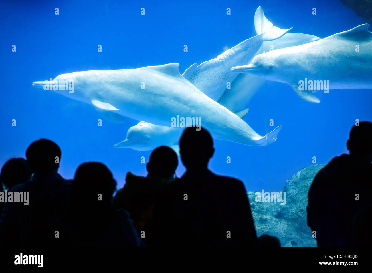 Zhuhai, China's Guangdong Province. 15th Jan, 2017. Tourists watch Chinese white dolphins at the Chimelong Ocean - Stock Image