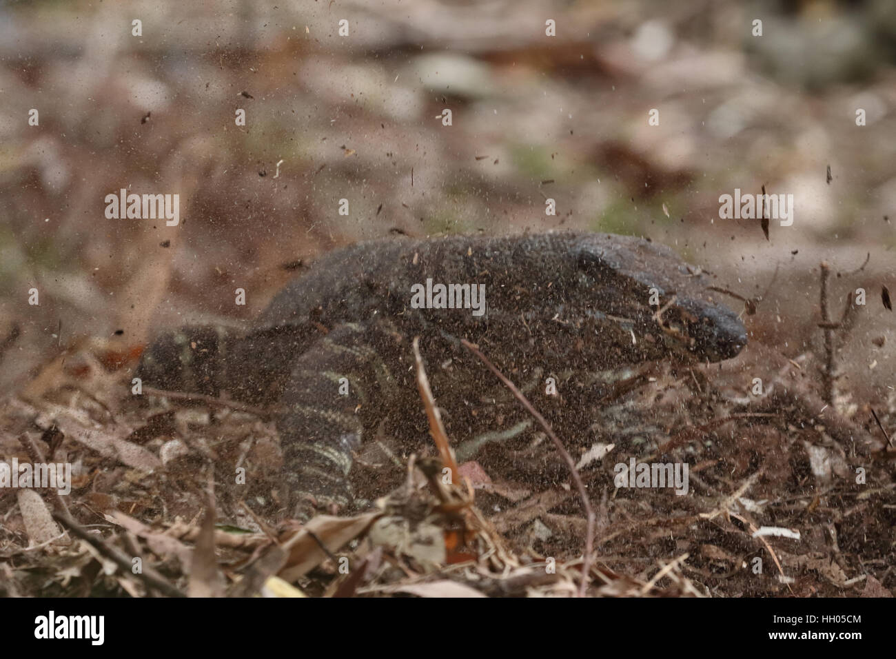 lace monitor raiding a brush turkey nest mound Stock Photo