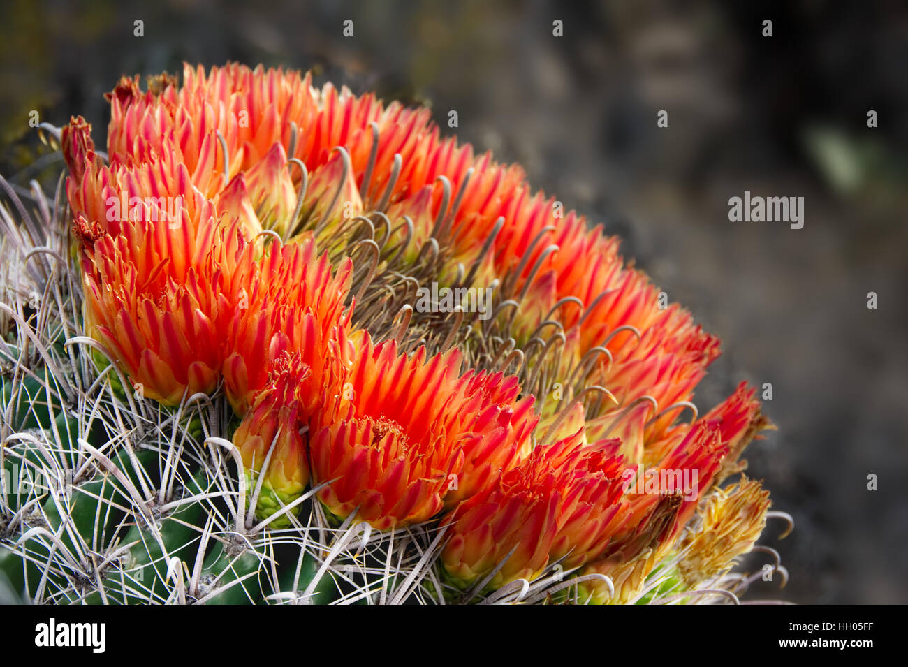 Glowing red blossoms encircle the head of a fishhook barrel cactus. - Stock Image