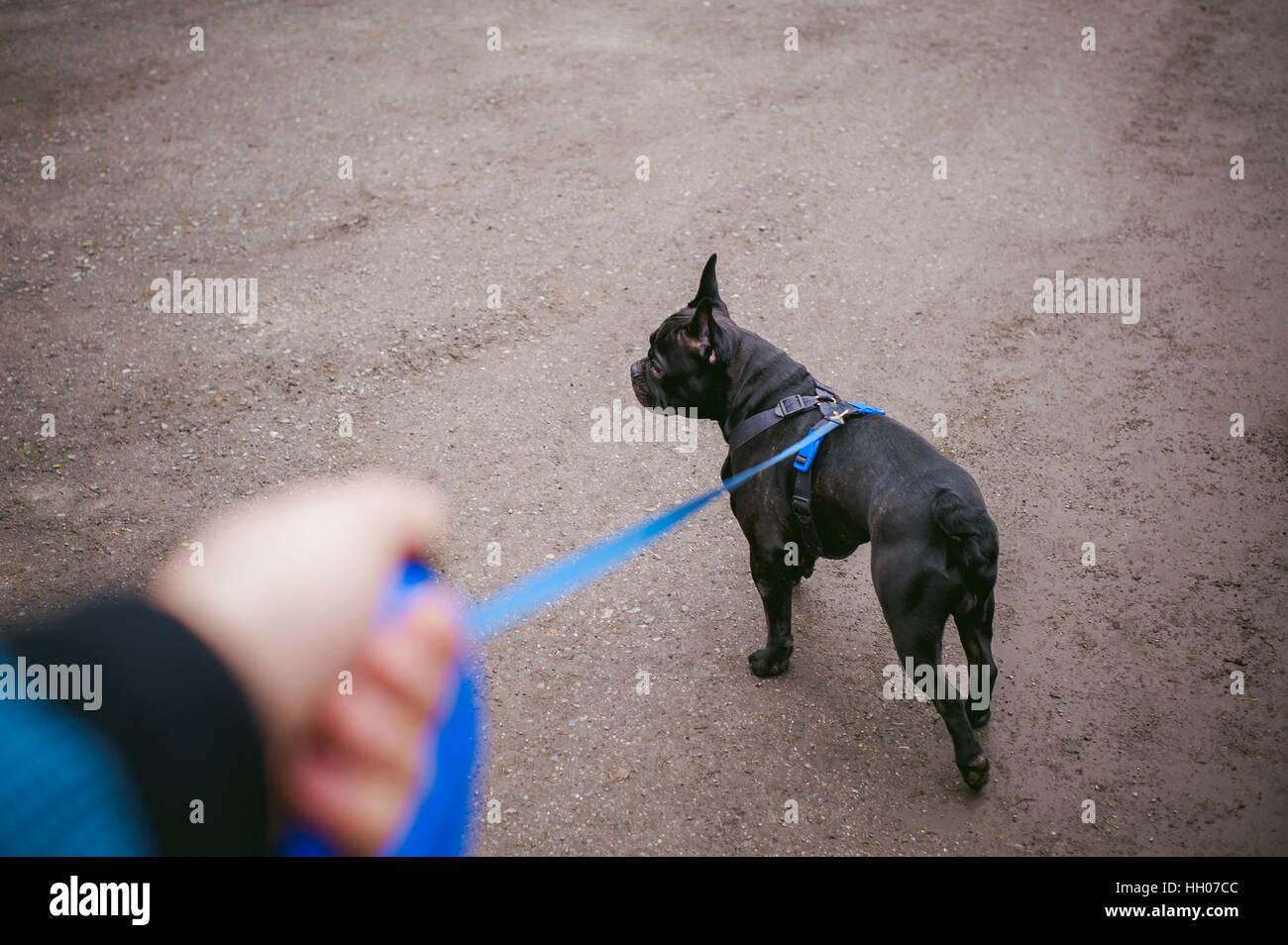walking the dog French Bulldog - Stock Image
