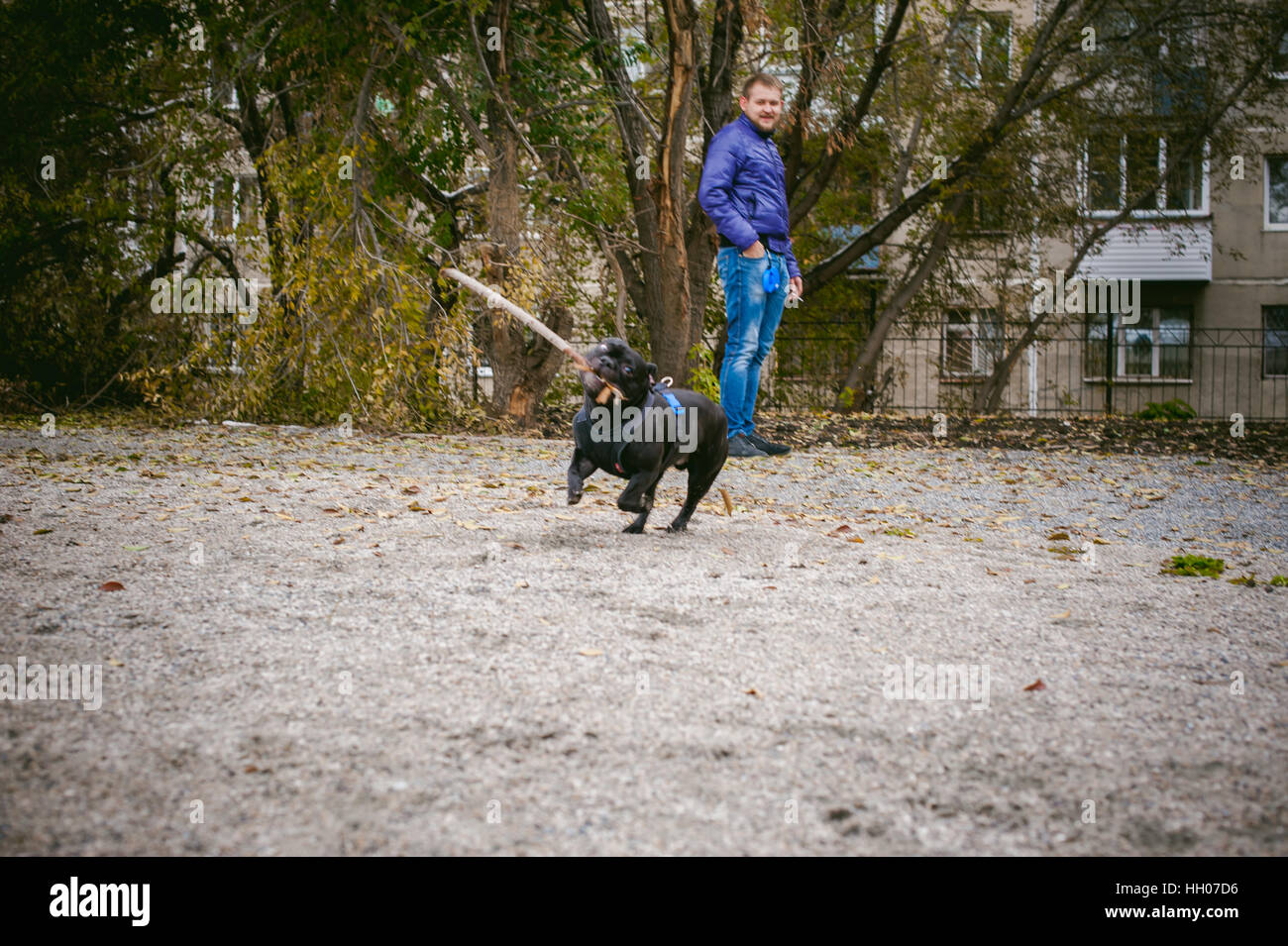 walking the dog French Bulldog. Male host plays with his pet on the street in the yard with a stick Stock Photo