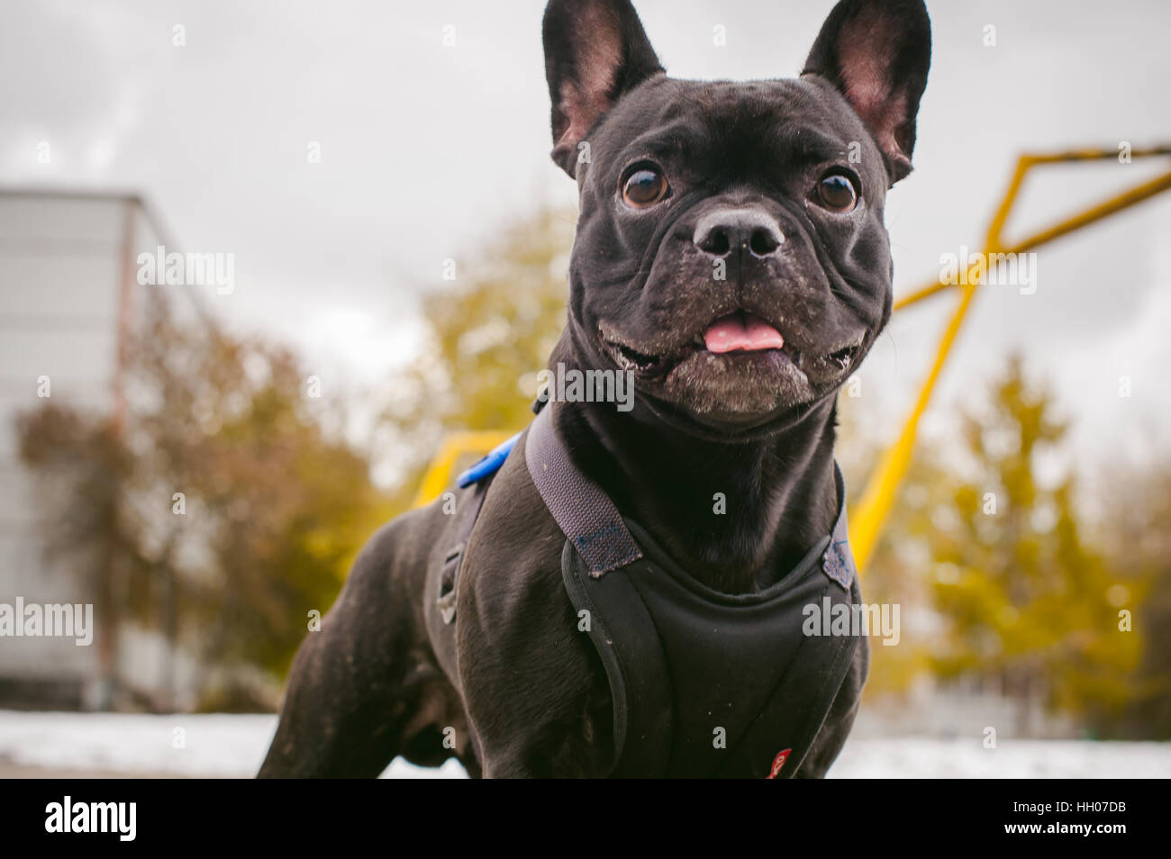 walking the dog French Bulldog. Male host plays with his pet on the street in the yard with a stick - Stock Image