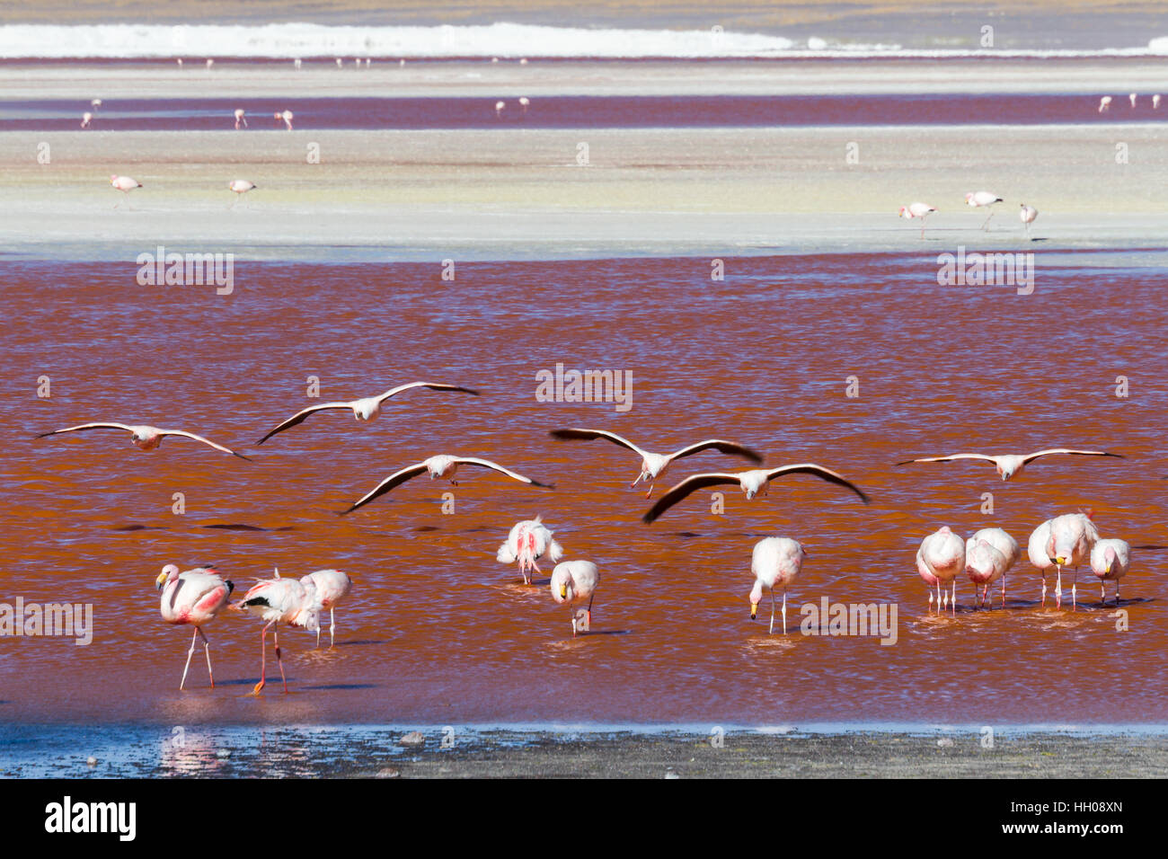 Flying flamingos at Laguna Colorada, Altiplano, Bolivia - Stock Image