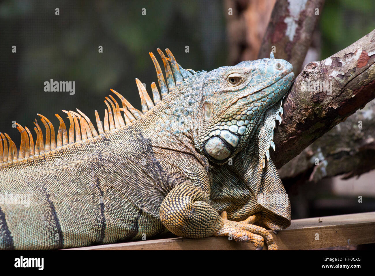 Green Iguana, Green Iguana Conservation Project, San Ignacio, Belize - Stock Image