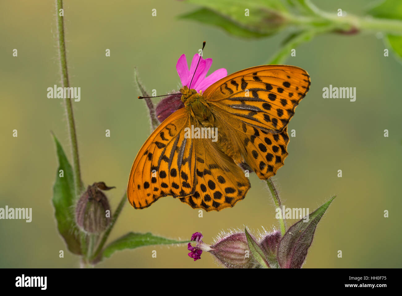 Kaisermantel, Männchen, Silberstrich, Argynnis paphia, Silver-washed fritillary, male, Le Tabac d'Espagne, - Stock Image