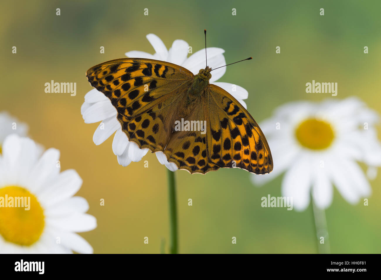 Kaisermantel, Weibchen, Silberstrich, Argynnis paphia, Silver-washed fritillary, female, Le Tabac d'Espagne, Edelfalter, Stock Photo