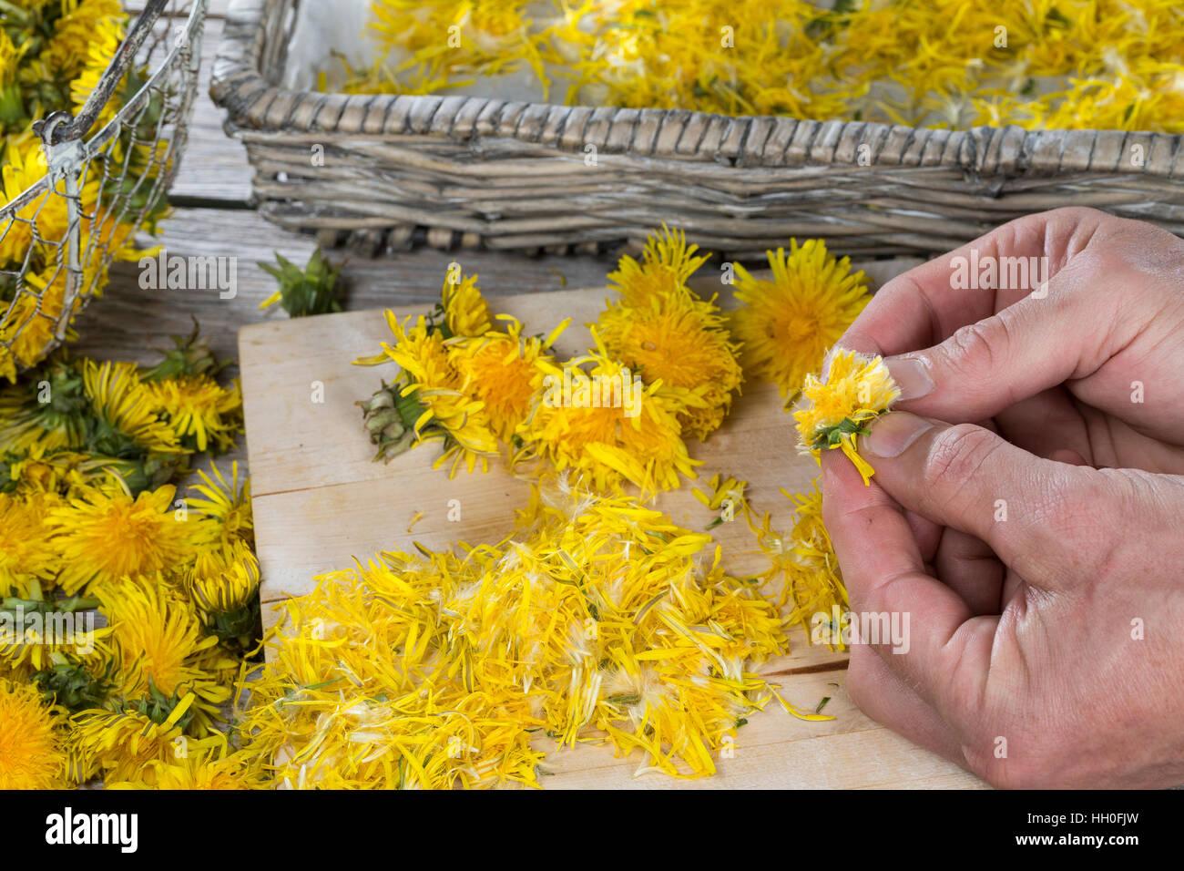 Löwenzahnblüten trocknen, getrocknete Blüten, Blüte Stock