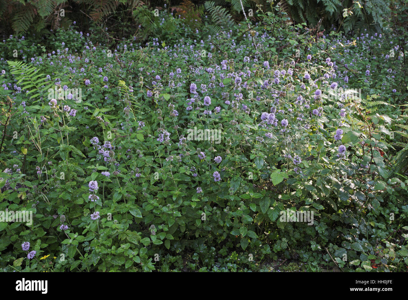 Water mint Mentha aquatica growing en masse in a wet area beside a track New Forest National Park Hampshire England Stock Photo
