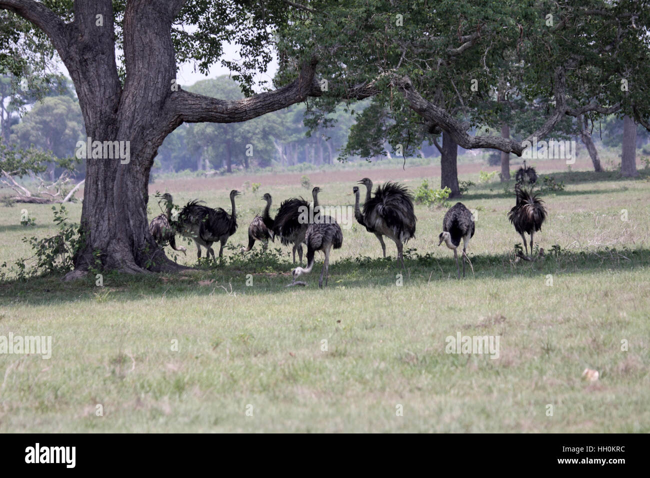 Greater rhea flock in shade of large tree in Brazil Stock Photo